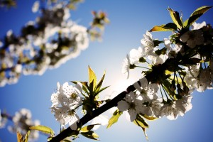 blossoms-spring-tree-white